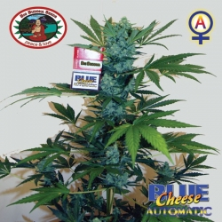 Blue Cheese Automatic   Feminised, Auto, Indoor & Outdoor