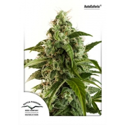Auto Euforia | Feminised, Auto, Indoor & Outdoor