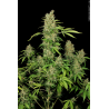 CBD Chronic | Feminised, Indoor & Outdoor
