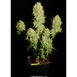 Chronic | Feminised, Indoor & Outdoor