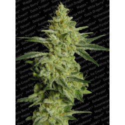 Allkush aka Sheherazade | Feminised, Indoor & Outdoor