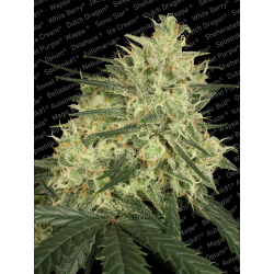 Atomical Haze | Feminised, Indoor & Outdoor