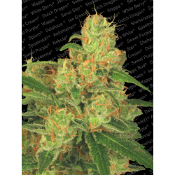 Auto Acid | Feminised, Auto, Indoor & Outdoor