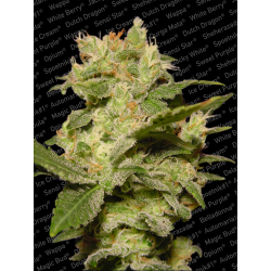 Auto Jack | Feminised, Auto, Indoor & Outdoor