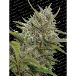 Auto Whiteberry | Feminised, Auto, Indoor & Outdoor