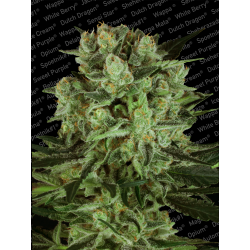 Durga Mata II CBD | Feminised, Indoor & Outdoor