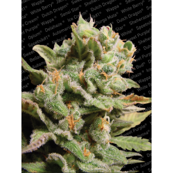 Dutch Dragon | Feminised, Indoor & Outdoor