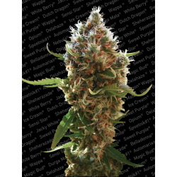 Lucid Bolt | Feminised, Indoor & Outdoor