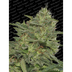 Original Cheese IBL | Feminised, Indoor & Outdoor