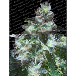 Original White Widow IBL | Feminised, Indoor & Outdoor