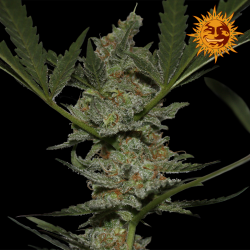 Acapulco Gold | Feminised, Indoor & Outdoor