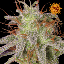 Amnesia Lemon | Feminised, Indoor & Outdoor