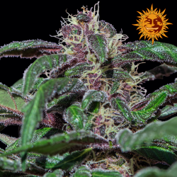 Ayahuasca Purple | Feminised, Indoor & Outdoor