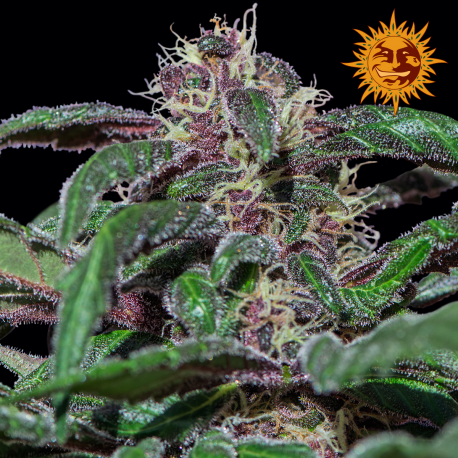 Ayahuasca Purple | Feminised, Indoor & Outdoor