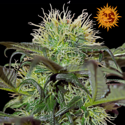 Bad Azz Kush | Feminised, Indoor & Outdoor