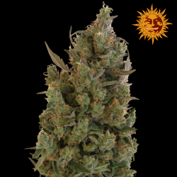 Blueberry Cheese | Feminised, Indoor & Outdoor