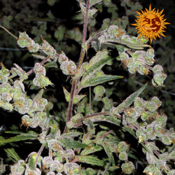 Dr. Grinspoon | Feminised, Indoor