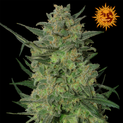 LSD | Feminised, Indoor & Outdoor
