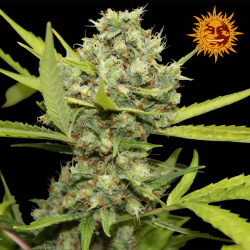 Pineapple Chunk | Feminised, Indoor & Outdoor