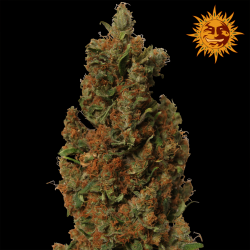 Red Diesel | Feminised, Indoor & Outdoor
