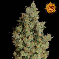 Tangerine Dream | Feminised, Indoor & Outdoor