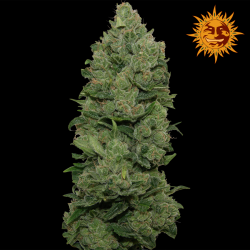 Top Dawg | Feminised, Indoor & Outdoor