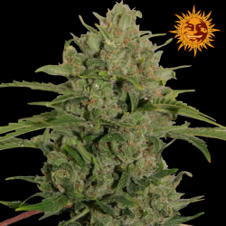 Triple Cheese | Feminised, Indoor & Outdoor