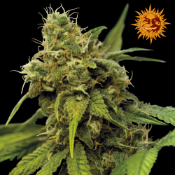 Utopia Haze | Feminised, Indoor & Outdoor