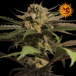 Violator Kush | Feminised, Indoor & Outdoor