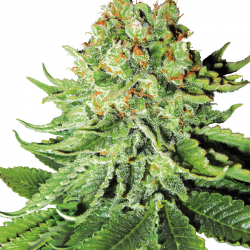 Northern Lights Automatic | Feminised, Auto, Indoor & Outdoor