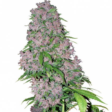 Purple Bud | Feminised, Indoor