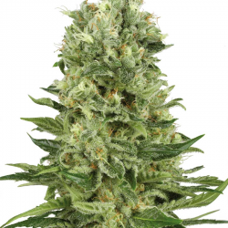 Skunk Automatic | Feminised, Auto, Indoor & Outdoor