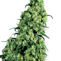 Skunk Nr  1 | Feminised, Indoor & Outdoor