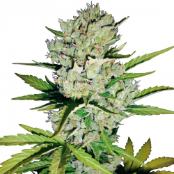Super Skunk Automatic | Feminised, Auto, Indoor & Outdoor