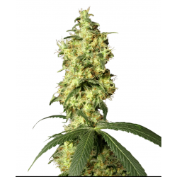 White Widow Automatic | Feminised, Auto, Indoor & Outdoor