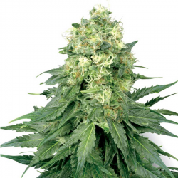White Widow | Feminised, Indoor & Outdoor