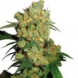 Big Bud | Feminised, Indoor