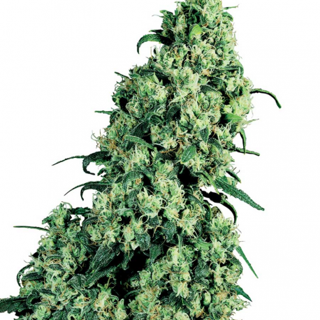 Skunk Nr. 1 | Feminised, Indoor & Outdoor