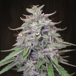 Bangi Haze | Feminised, Indoor & Outdoor