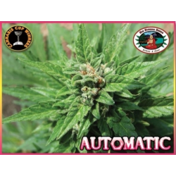 Automatic | Feminised, Auto, Indoor & Outdoor
