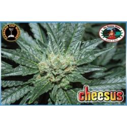 Cheesus | Feminised, Indoor
