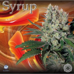 Syrup | Feminised, Auto, Indoor & Outdoor