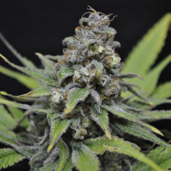 CBD-Critical Mass | Feminised, Indoor & Outdoor