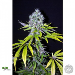 CBD-Yummy | Feminised, Indoor & Outdoor