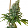 Congo Haze | Feminised, Indoor & Outdoor