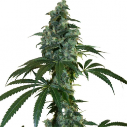 G13 x Amnesia Haze | Feminised, Indoor & Outdoor