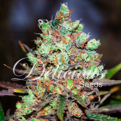 Cotton Candy | Feminised, Indoor & Outdoor
