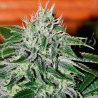 Critical Jack Herer | Feminised, Auto, Indoor & Outdoor
