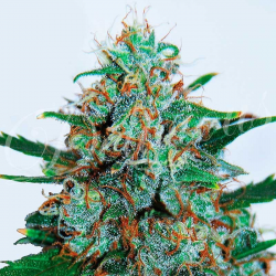 Critical Neville Haze | Feminised, Auto, Indoor & Outdoor