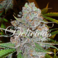 La Diva | Feminised, Auto, Indoor & Outdoor